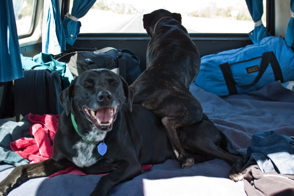 This is how Django preferred to ride in the van. Hobie must have absorbed some of the vibrations from the van.