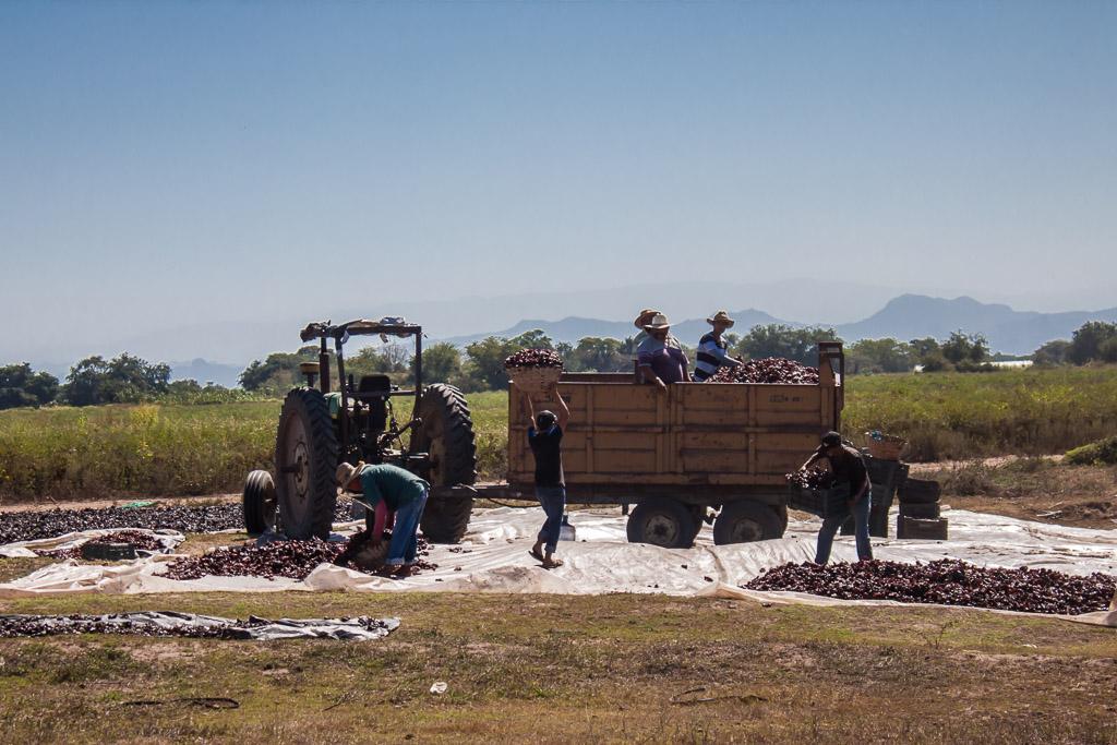 Loading up the dried chilies near Teacapán.