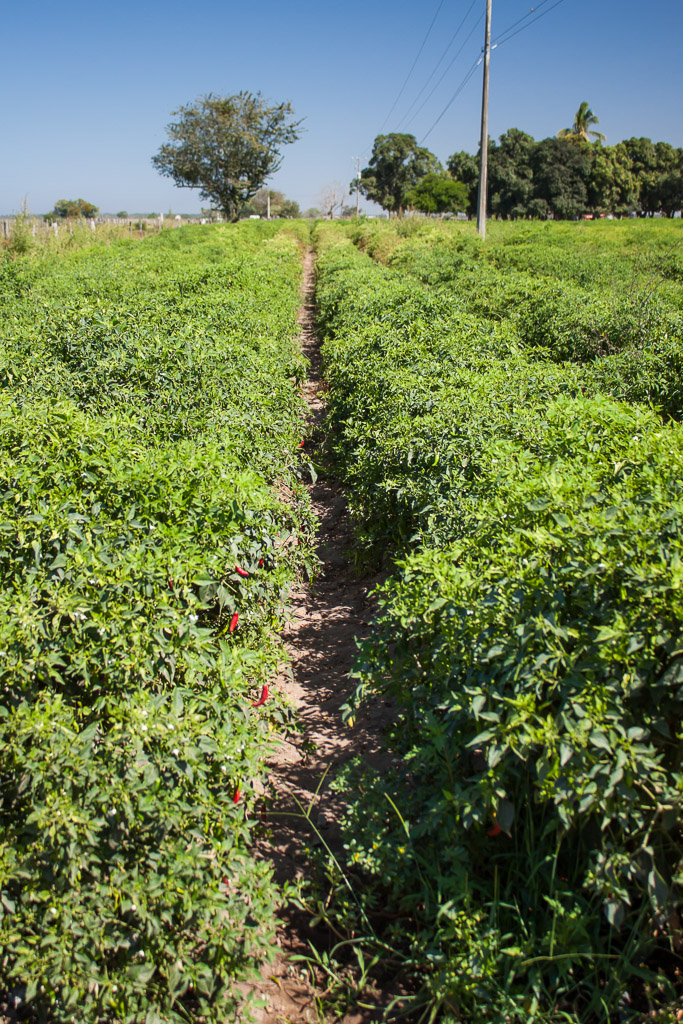 Chilies as far as the eye could see.