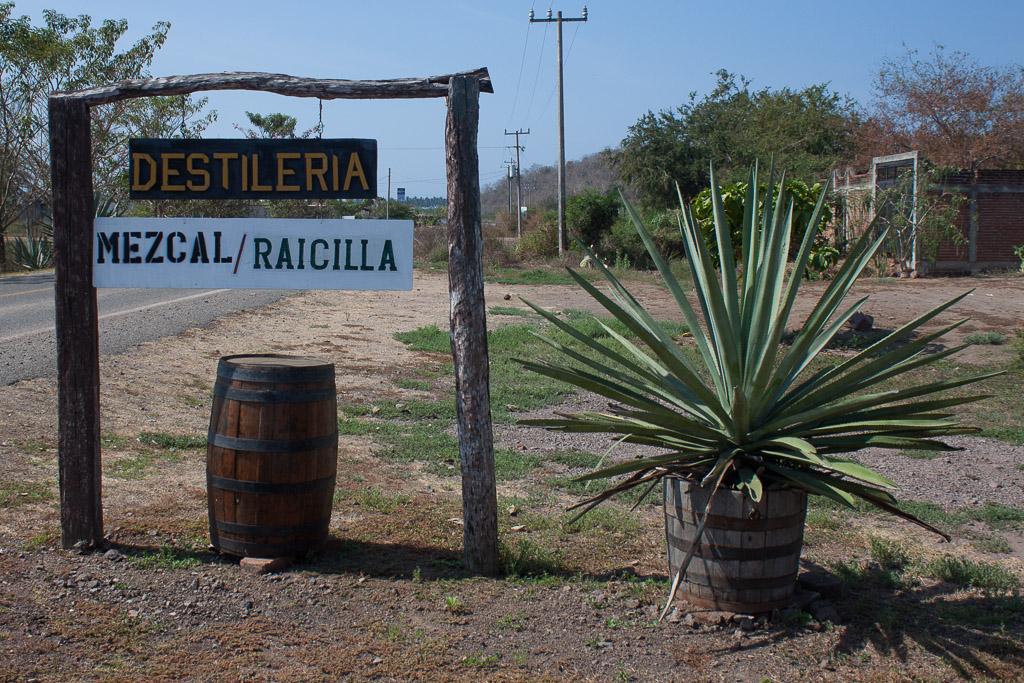Raicilla distillery and blue agave plant
