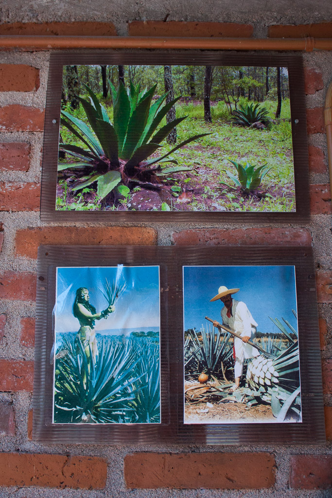 Maguey Agave plant
