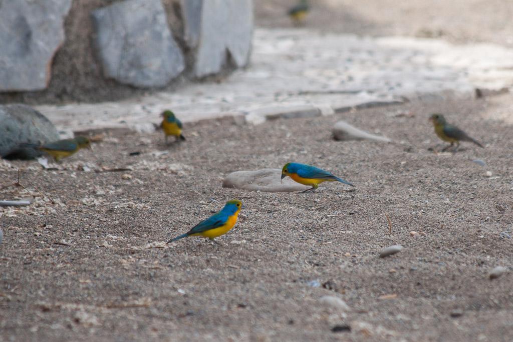 Bright blue birds eating cactus seeds.