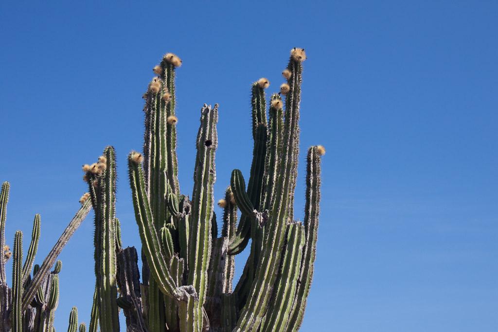 Flowering cactus at La Ticla.