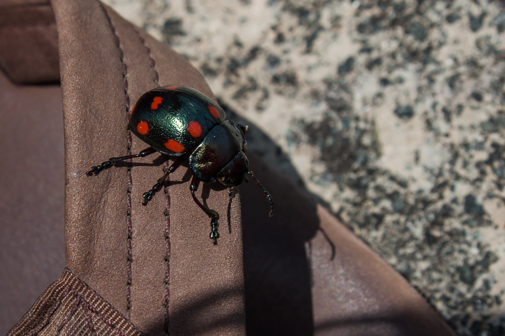 Awesome beetle that landed on Emily's foot.