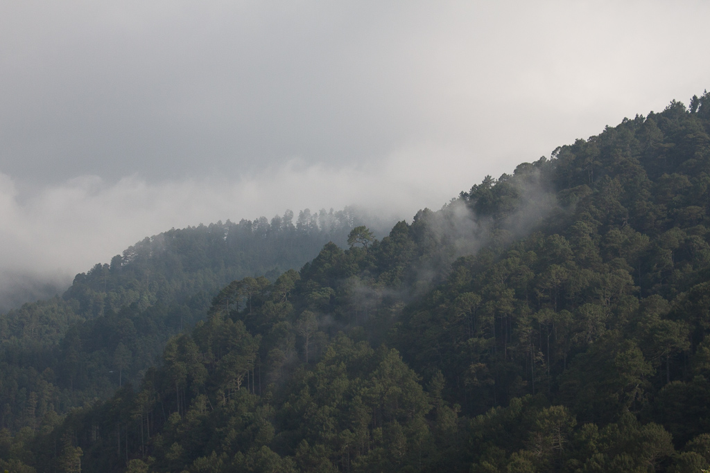 Cloudy pine forest.