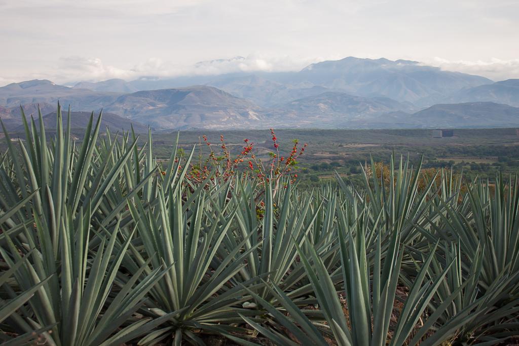 Looking back towards Oaxaca through the agave.