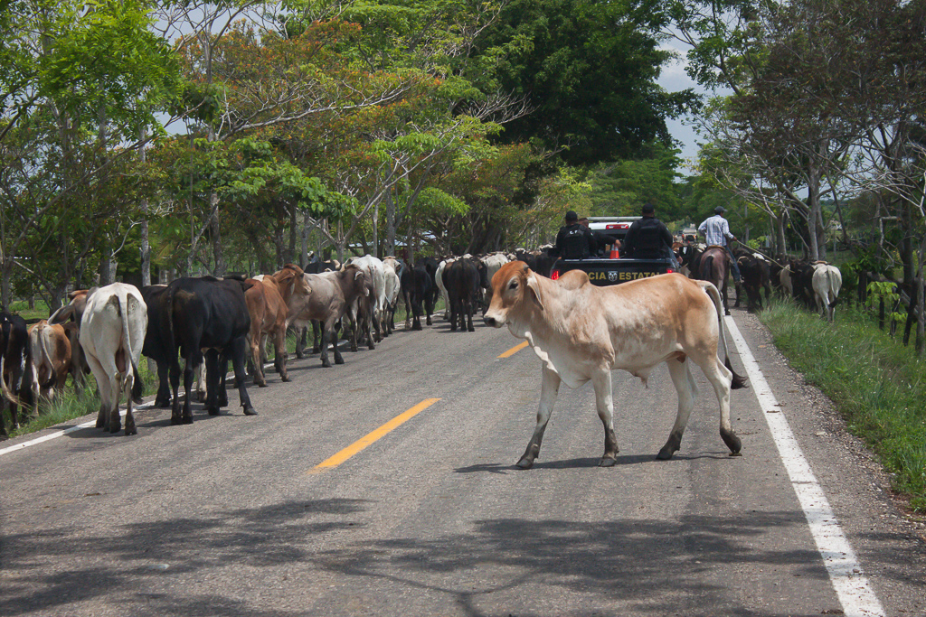 Cow highway. Like the police car ahead of us, we just drove (very slowly) right through the herd.