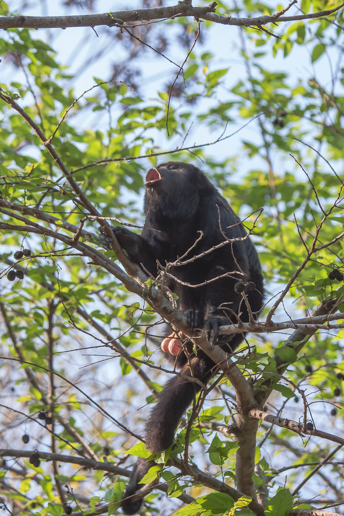 Big male howler monkey hooting away in all his glory!