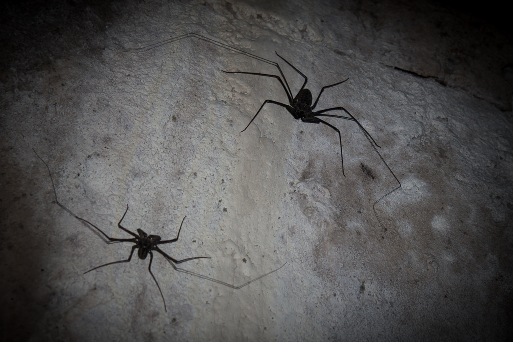 Two of the massive spiders in the tunnels, their legs extend about as wide as an adult human hand.