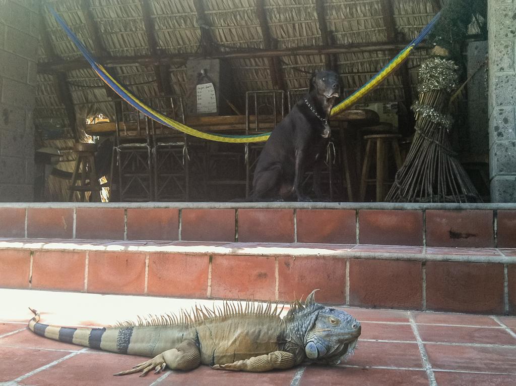 Hobie keeping a wary eye on Paco the iguana.