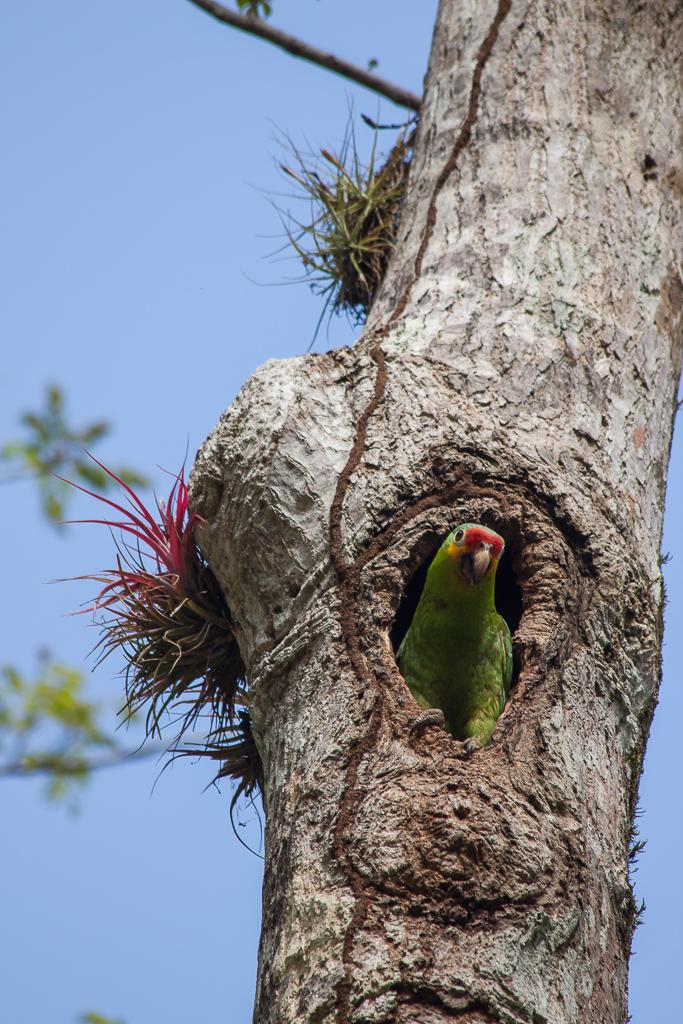 Parrot, Tikal.