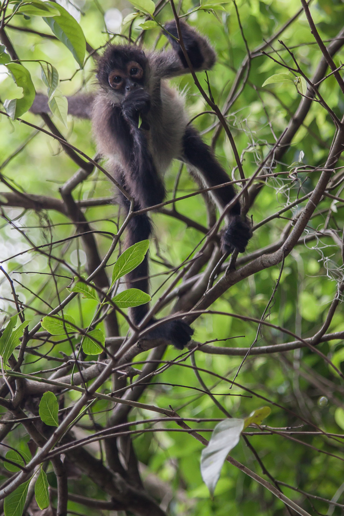 Spider monkey, Tikal.