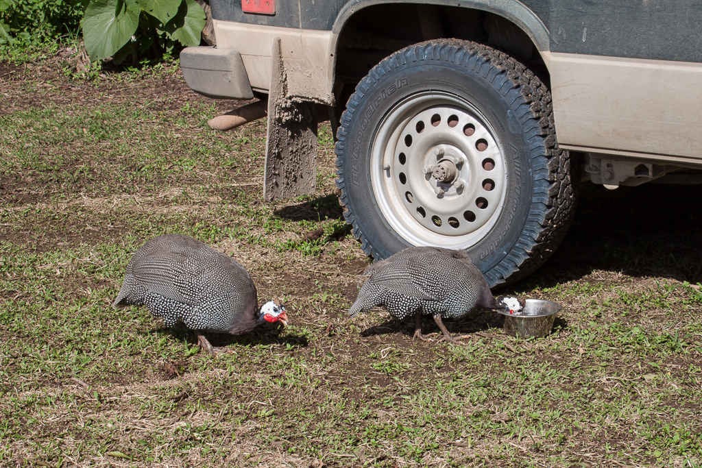 We found a great place to camp next to a lodge that had a big garden and all sorts of animals around. Two two guinea hens who came to steal Hobie's food.