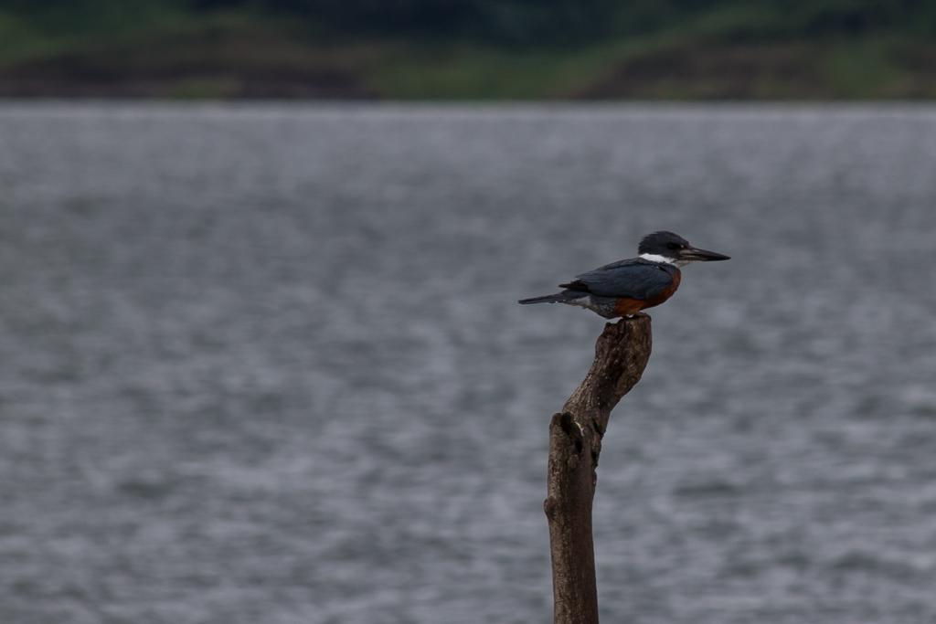 Kingfisher on Lago Arenal.