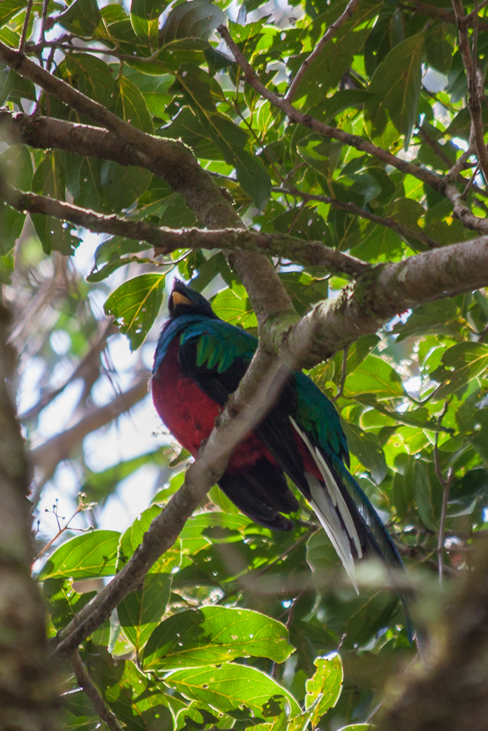The elusive quetzal.