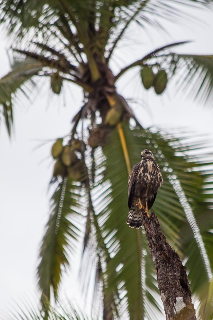 Hawk at Playa Josecita.