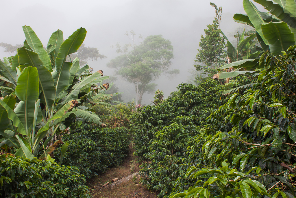 Coffee farm along the Chirripó trail.