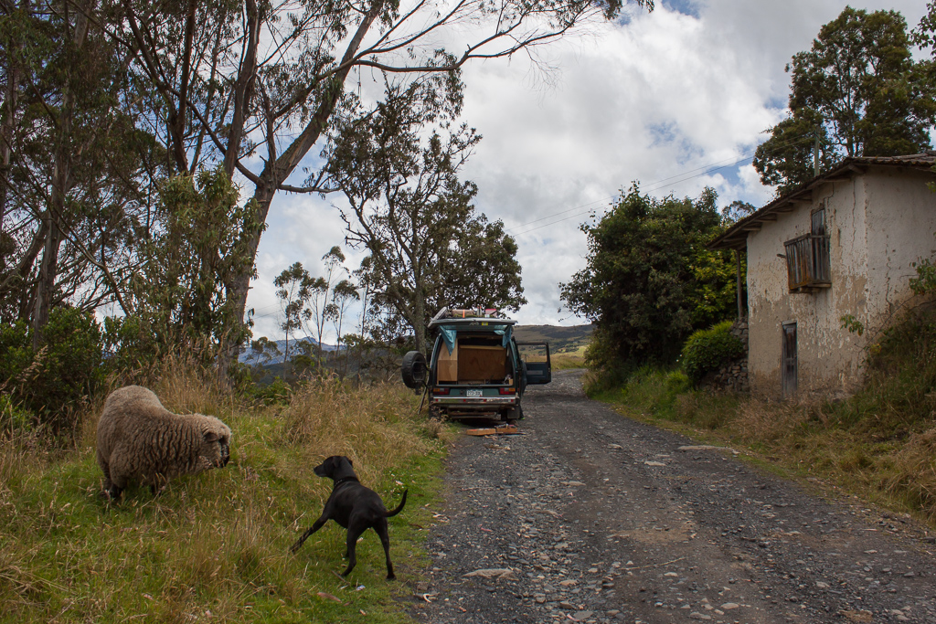 Hobie was both very interested and very wary of the sheep that wandered up to snack next to the van.