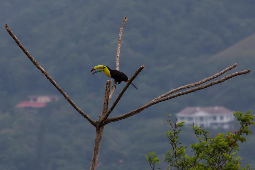 Toucan above El Valle.