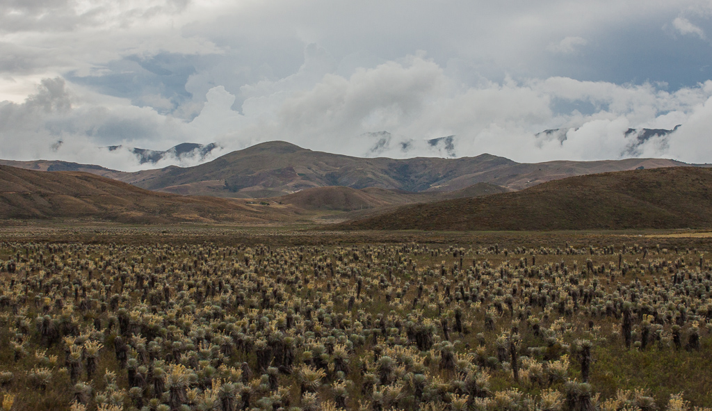 High mountain plateau covered in frailejóns.