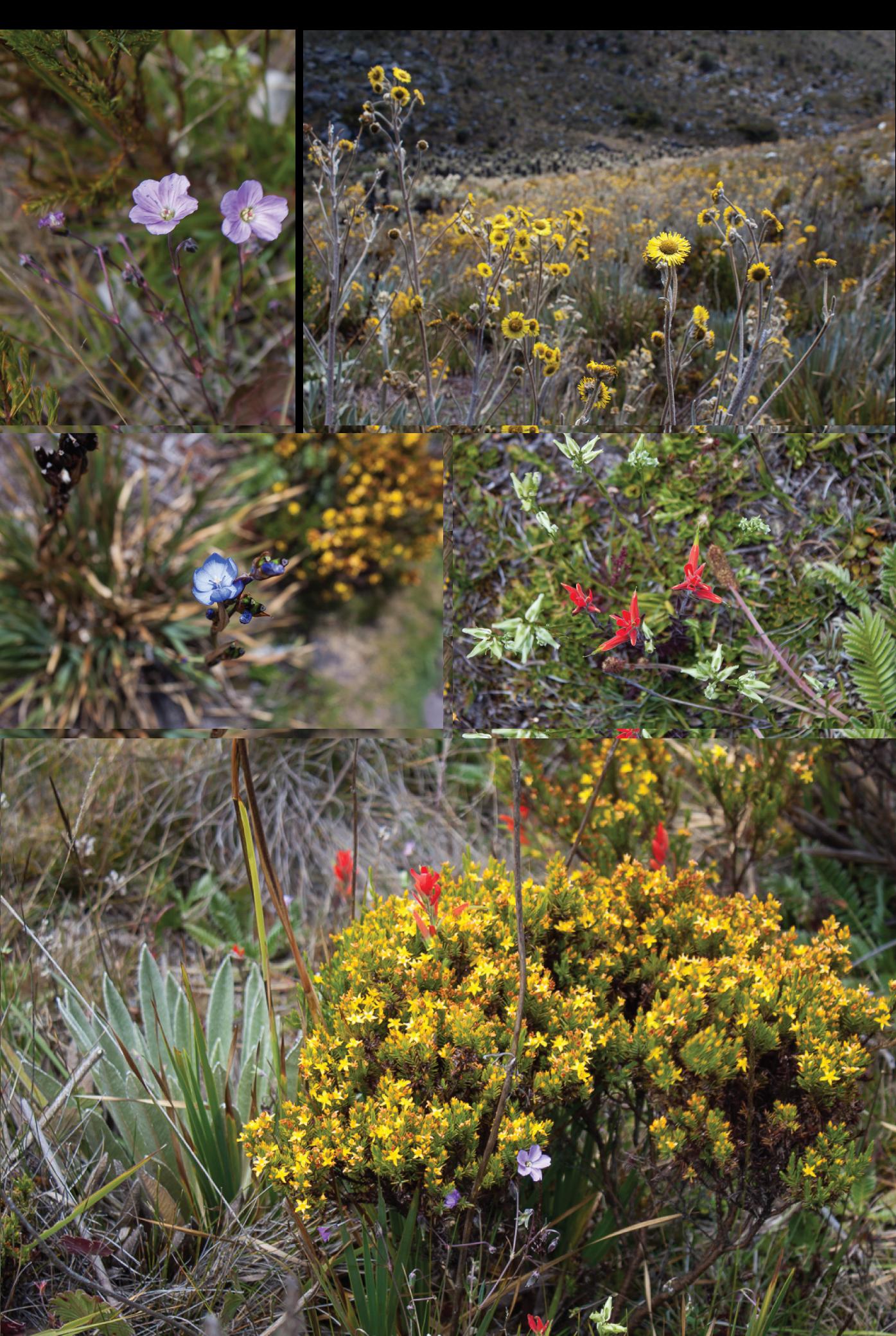 Flowers of PNN El Cocuy.