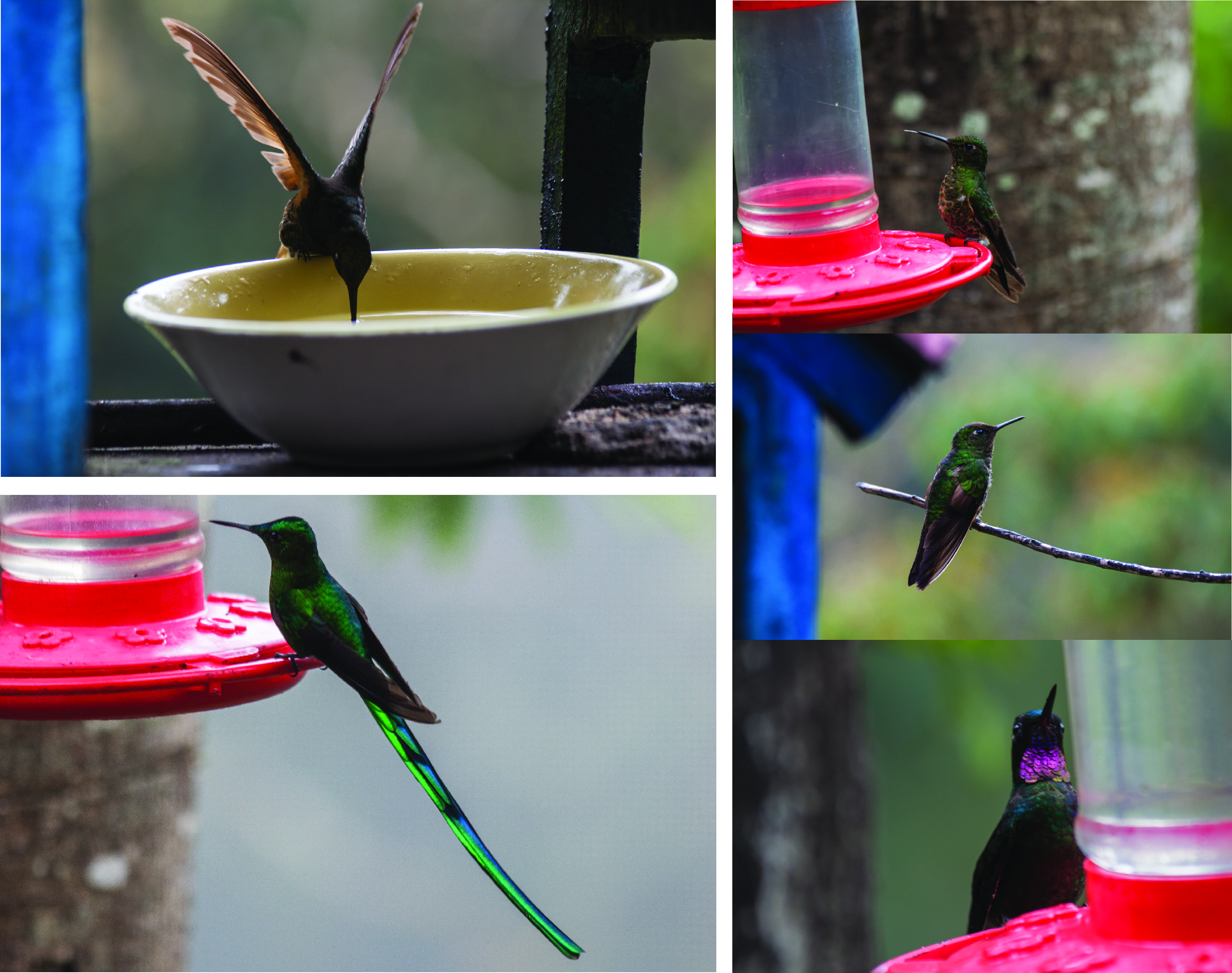 Hummingbirds at a sanctuary in the cloud forest.