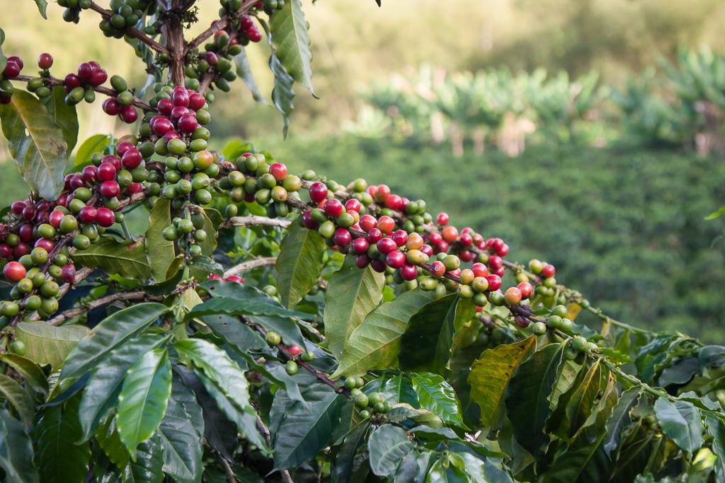 Coffee! Hacienda Venecia, Manizales.