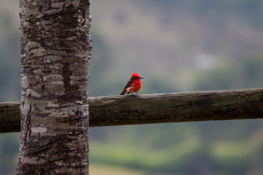 Cute little flycatcher, La Serrana Hostel, Salento.