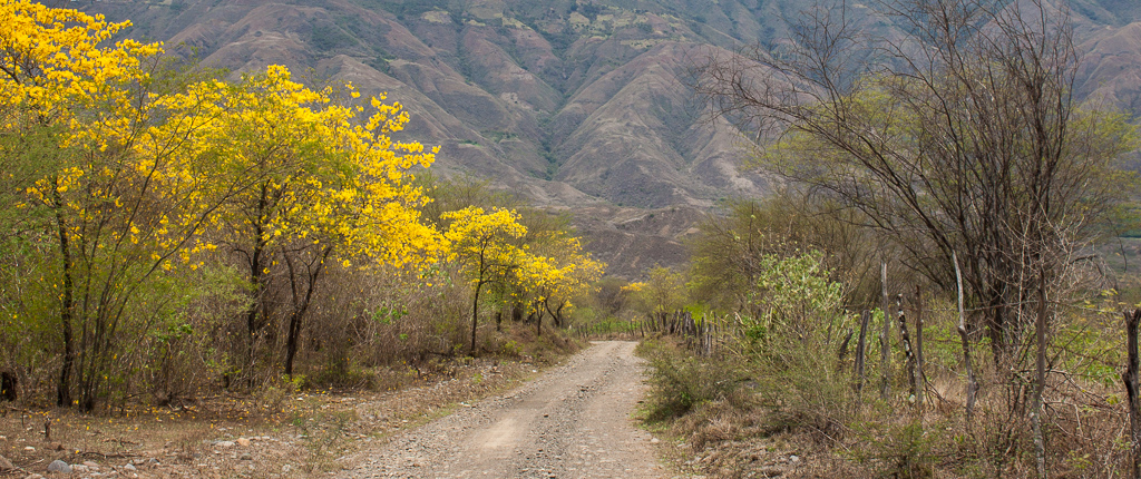 We passed through a region in southern Colombian where the hills were ablaze with these flowering yellow trees.