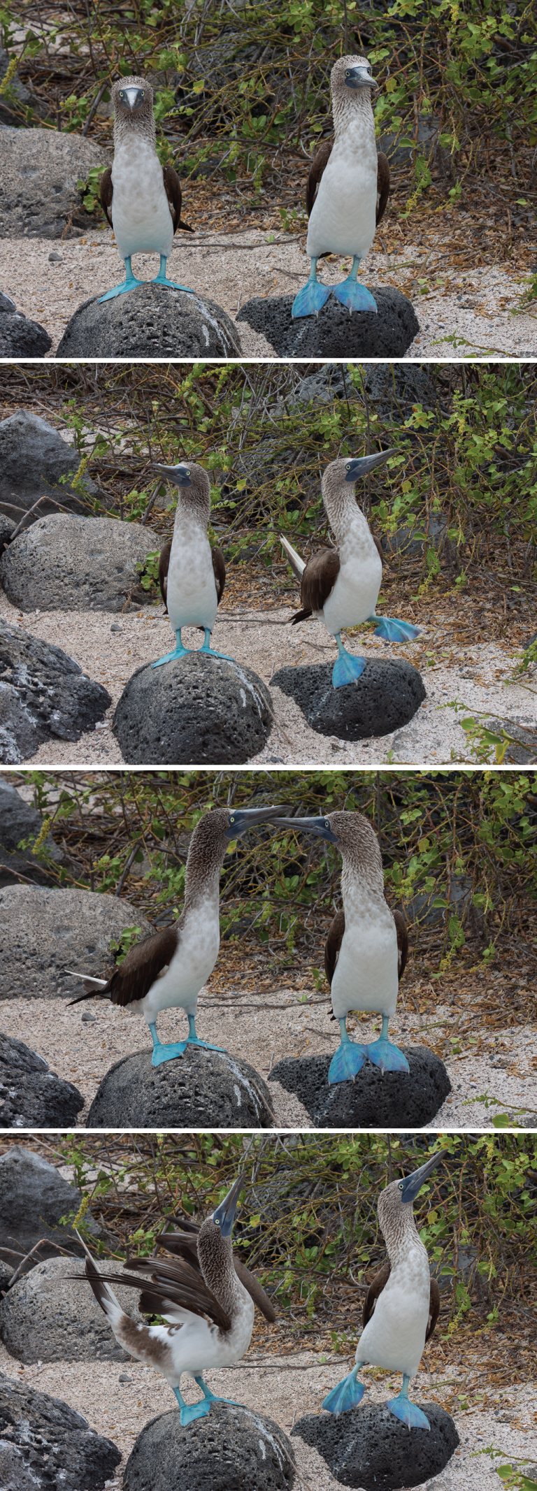 Blue-footed flirting