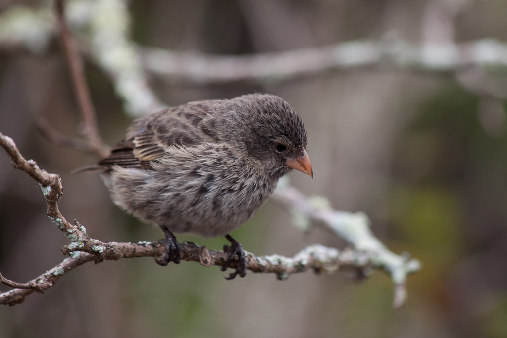 One type of Darwin's finches.
