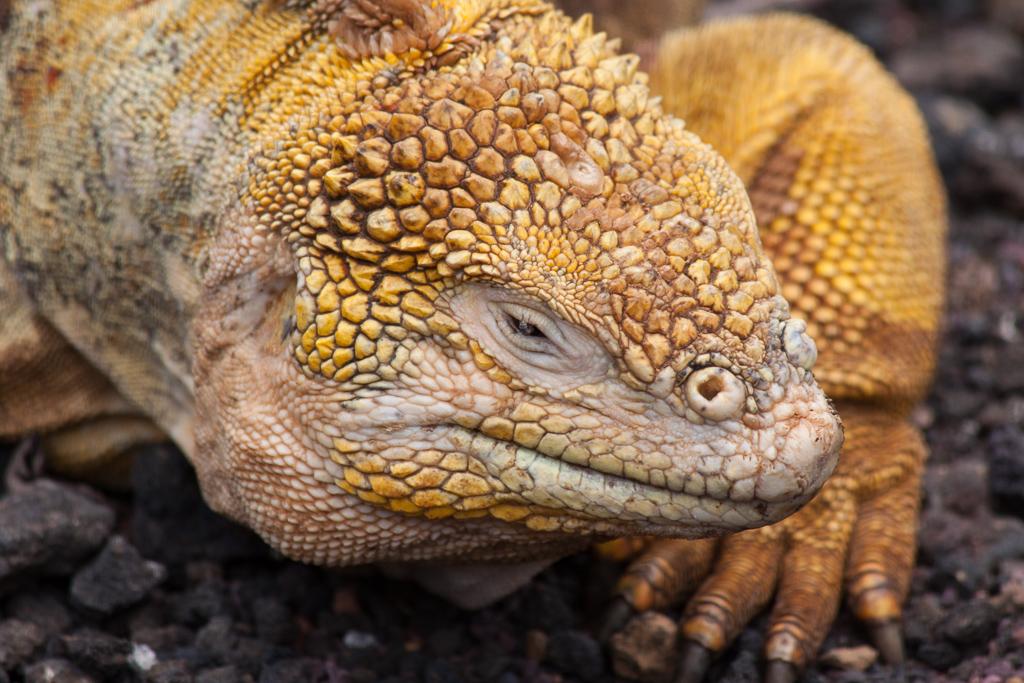 Colorful land iguana.