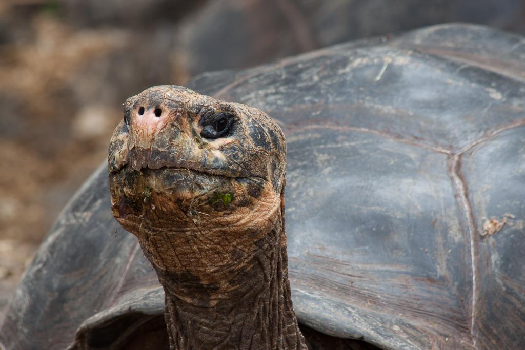 Captive tortoise at the breeding center in the Darwin Research Station on Santa Cruz Island.