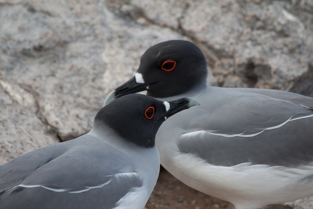Gulls with amazing red eyes.