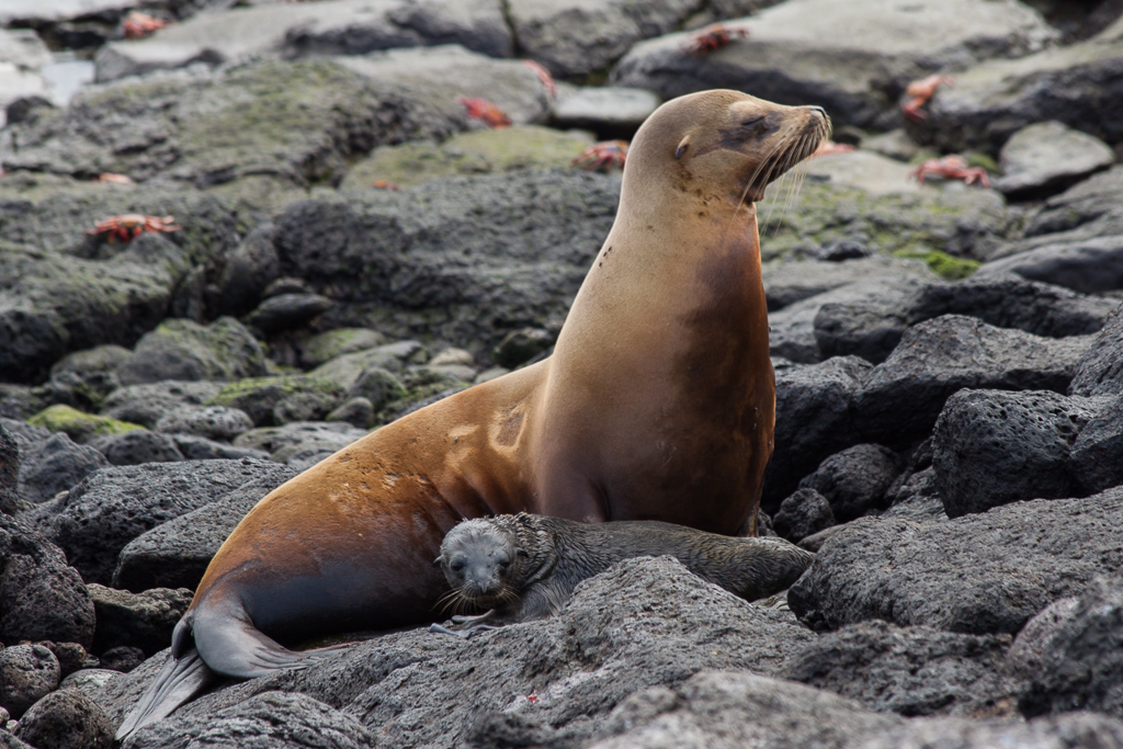 We were lucky to be able to see a newborn sea lion pup, likely less than an hour old.