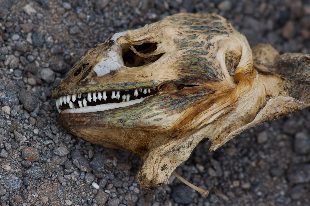 Land iguana skull. We were repeatedly reminded of the cycle of life and death by the abundant skeletons, many of them baby sea lions.