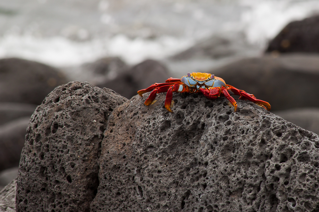 These vibrant crabs skittered over the basalt on the edges of every island.