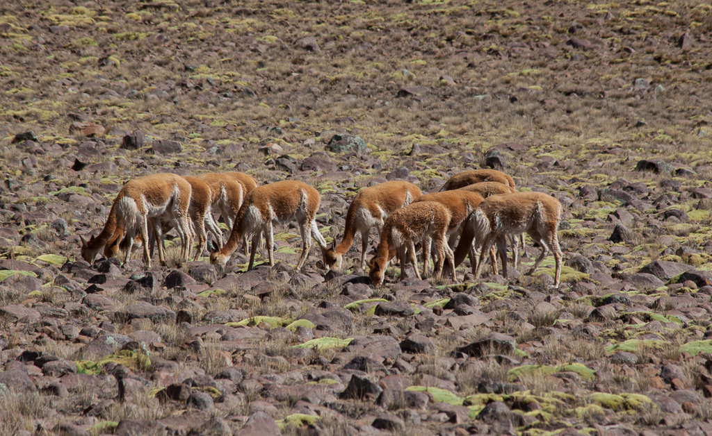 Vicuñas along the drive from Nazca to Cusco.