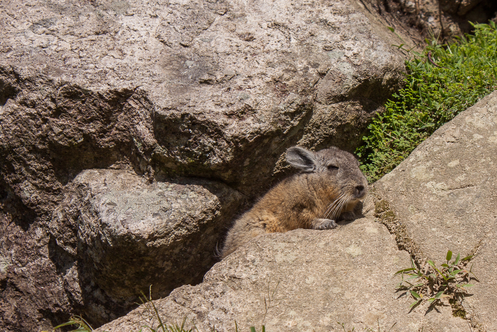 Cute little Chinchilla at the ruins.