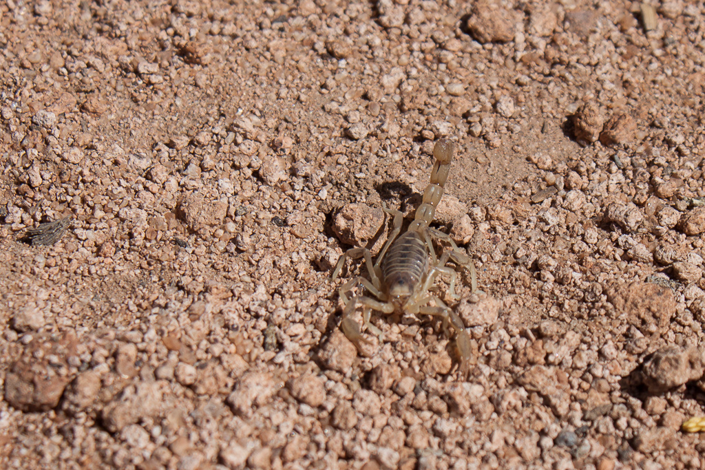One of two scorpions that we found in Emily's camp chair in the morning.