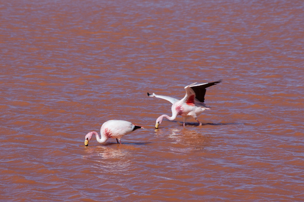 Flamingos on Laguna Colorada.