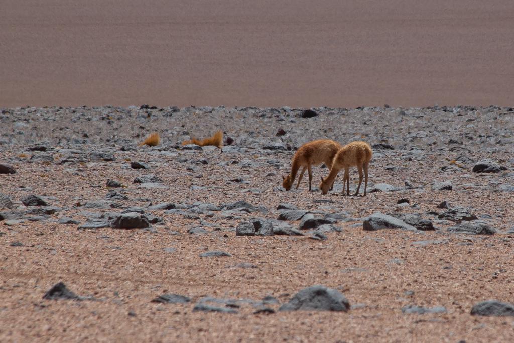 Grazing vicuñas.