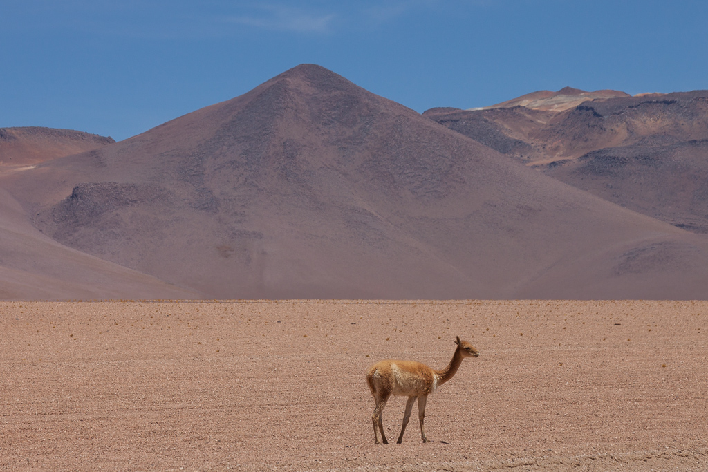 It is easy to see that vicuñas are in the camelid family.