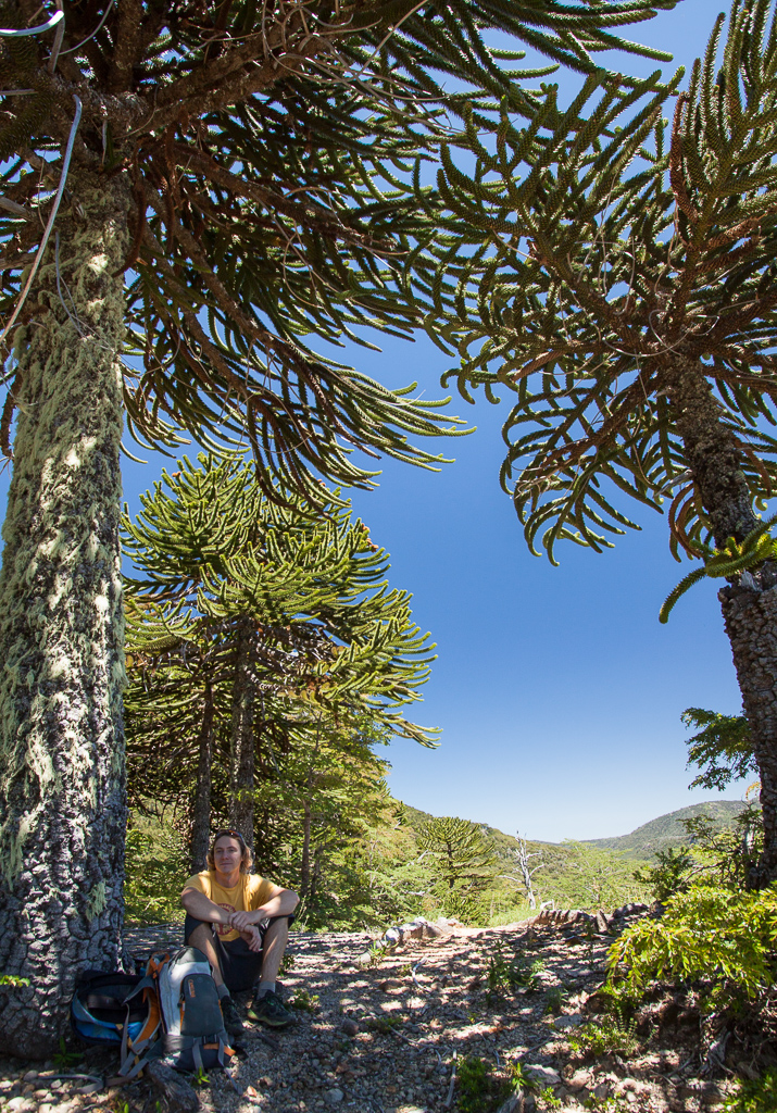 Tim and the Monkey Puzzle trees.
