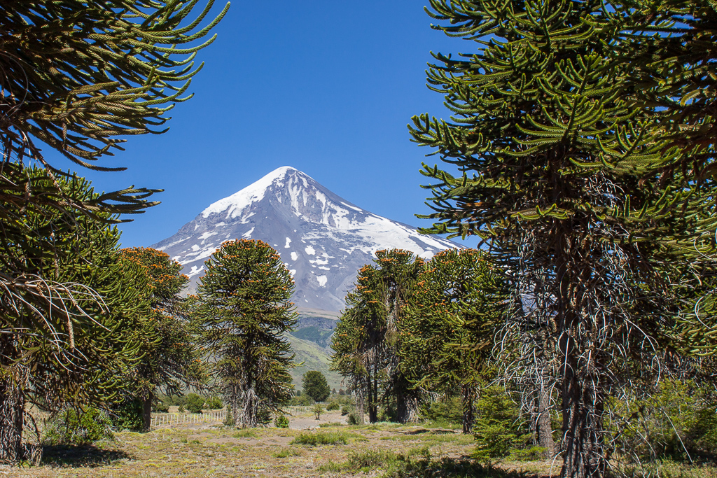 A view of Volcan Lanín through the Monkey Puzzle forest.