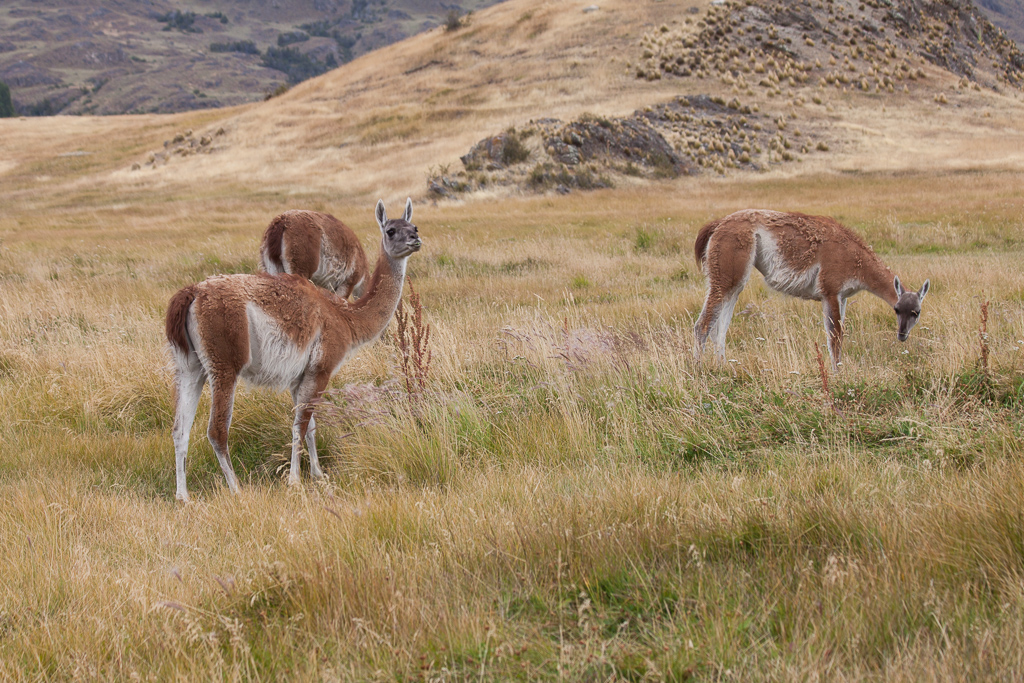 Our first glimpses of guanacos in Parque Patagonia. This is the fourth (and final) camelid in the alpaca family that we've seen.