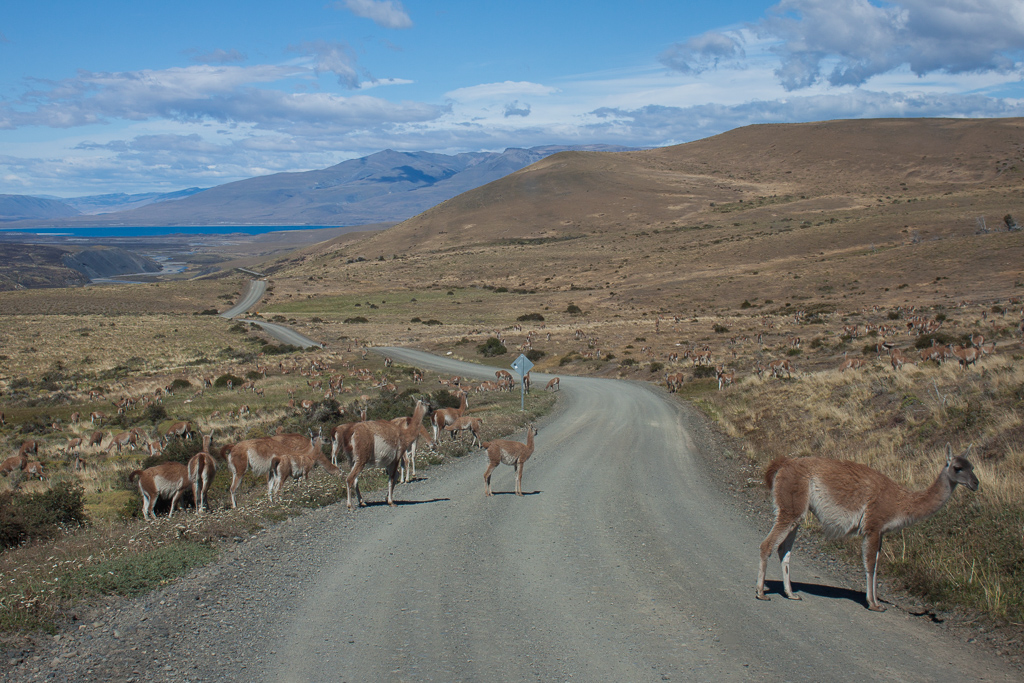 Guanaco herd taking over the road, Torres del Paine.