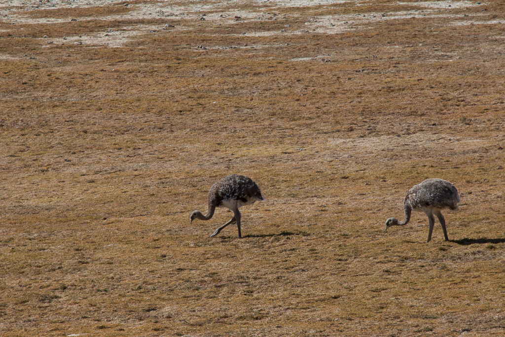 Rheas, large ostrich-like birds. Torres del Paine.