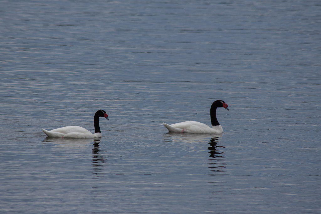 Black-necked swans in the bay near Puerto Natales.