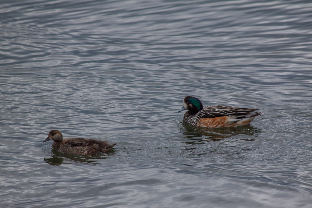 One of the many varieties of Patagonian ducks.